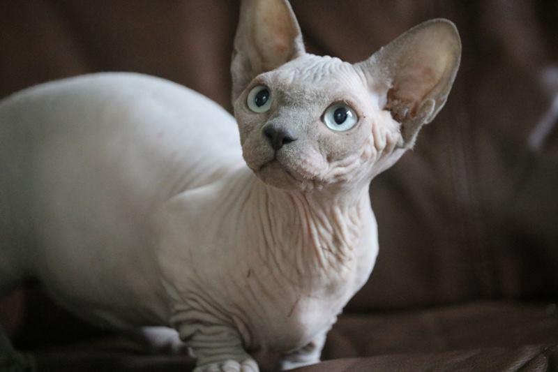 Bambino Cats Passionada Sphynx Cattery