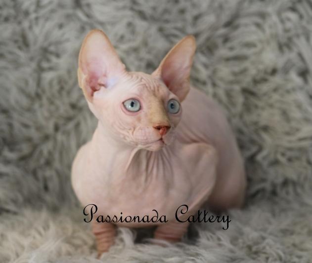 Kittens - Passionada Sphynx Cattery